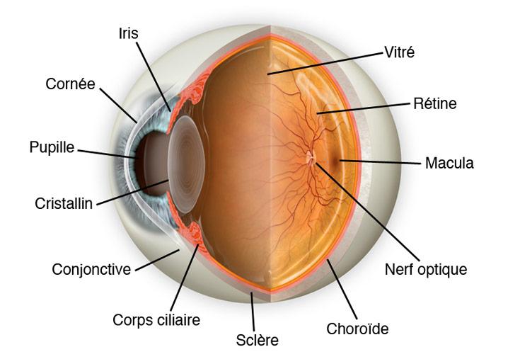 oeil et DMLA