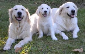 Golden Retrievers chiens pour aveugles